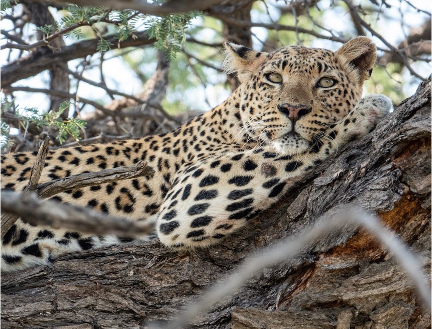 A rare sight of a leopard spotted on top of a tree