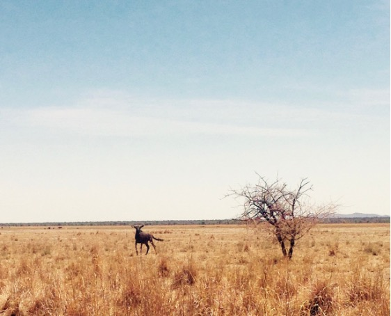 Wildebeest spotted on the pan at the Otjikoto Nature Reserve.